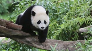 Bao-Bao-the-panda-jpg