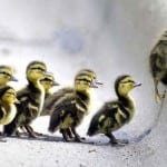 leadership-ducklings-in-snow